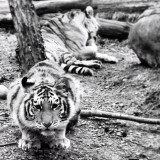 Bronx Zoo tiger cubs