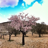 A cherry tree in bloom in early spring.