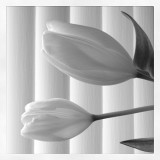 Tulips in white in high key with white vertical stripes behind