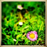 Pink daisy on a spring morning sitting in the grass.