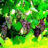 This picture was taken at Mission Hills Winery in Kelowna, British Columbia, Canada.