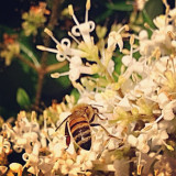 Honey bee doing what he was made to do.  Numbers of bees are dwindling in North America and the syndrome is called Colony Collapse Disorder (CCD). I used to see these often as a child but not so much anymore. Sad.