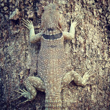 A collared Iguana (Oplurus cuvieri) in the region of the