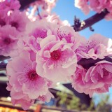 I found a long row of Cherry Blossom Trees which are beautiful and had to capture an up close picture of them.