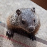 A baby groundhog stopped by to say hi