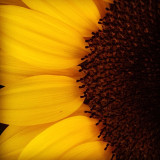 Extreme close-up of a sunflower