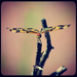 this dragonfly was posing for me!