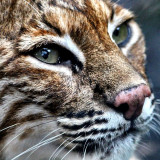 Close up of a bobcat
