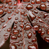 Rain drops on a Japanese Maple leaf