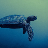 Green Sea Turtle off the coast of Kauai, Hawaii.  This photo is part of my underwater series