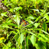 Visiting Gainesville, I found this monarch butterfly sitting here. Taken near the university hospital in G-ville.