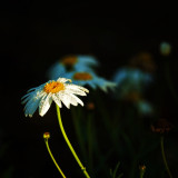 Early morning dew on a daisy, highlightyed by the sun