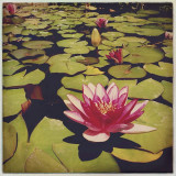 Lotus flower from Mission San Juan Capistrano