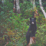 Black bear in Snettisham, Alaska