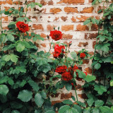 Red roses growing on a brick wall near a castle in Belgium
