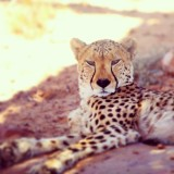 beautiful cheetah lying in the shade