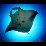 A Manta ray the queen of the ocean