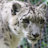 Snow leopard on the prowl