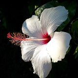 Mom's beautiful white hibiscus.. The harmony and the details are stunning. Stop and have a look at the detailof each flower you see, you will be amazed at how it was created :-)