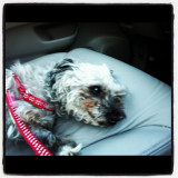 My yorkiepoo Mini resting in the car as she is usually in the driver's seat! Woof!