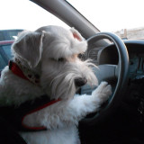 This is a photo of our baby Corky who we adopted from Texas from  Houston Shaggy Dog Rescue. We were at the beach and he wanted to learn to drive. He was pretty good!