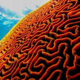 Snorkelling on the great barrier reef australia. Brain Coral