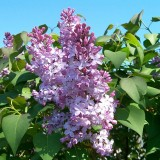 A great shot of lilacs  from our backyard. I love the look of this photo, it screams spring.