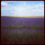 The lavender farm in Hitchin
