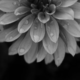 Chrysanthemum with droplets of water