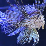 The Japanese Lionfish is a symbol of power. Can you see why? I love the color contrasts in this one.