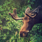 Young bull moose in Anchorage, Alaska