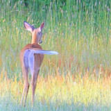 Love this deer as he walks away and flaps his tail.