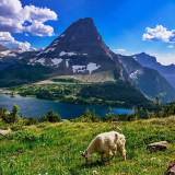 I shot this in Glacier National Park in Montana on my hike to Hidden Lake. The goat was getting his lunch on a beautiful summer afternoon in the Big Sky State.