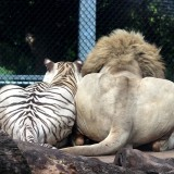 Female white tiger and male white lion-  the best of friends!