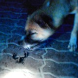 Dog fighting scorpions