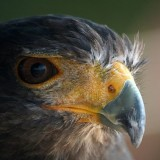 The Hawk.. I was lucky enough to  catch this calm hawk and shoot few interesting photos in such a detail :)