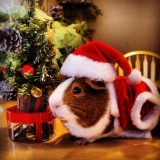 Kevin the Guinea Pig's yearly Christmas card. :)