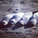 This was shot in Central California in San Simeon. The protected beach was full of baby seals and elephant seals, and as always the alpha males were trying to establish hierarchy. Total chaos on the beach, but these band of brothers managed to have their much needed afternoon siesta.