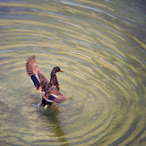A Mallard duck flapping wings and creating circular water ripples on a lake