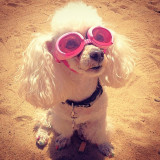 This little lady was at the Dog Surfing competition in Del Mar in the Summer of 2013. Her eyewear makes her fashionable and well protected in the summer sun. She got a lot of attention that day, and she and her owner both seemed to love it.
