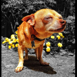 My little chihuahua, rusty, sun bathing outside near the flower beds. I Edited the photo so that only rusty and flowers were in color. Enjoi.