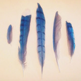 Found bluejay feathers from a summer spent watching a family of bluejays grow up.