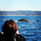 Whale Watching in Sydney Harbour 2012