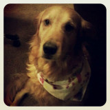 golden retriever Mr. Pilot sporting a bandana.