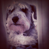 This is Eddie.  He is a schnauzer.  Loyal pet and loving