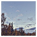 it's raining leaves.. #day275 #365 #leaves #tree #clouds #sky #fall #alaska #pictapgo_app #iphoneonly #iphonography