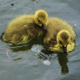 Babies in spring #instacute #instababies #igbabies #spring #summer #chicks #gooselings #ignature #instauk #ic_nature #instadaily #instagood #ig_ #igaddict #naturehippys #nature_rv #nuts_about_birds #chiquesnourtemo #cute #yellow #fluffy #fluff_balls #twins #