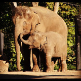 #animallovers #elephants #mother #and #daughter #animal #zoo #iger #nature #instanature #photowall #gf_brothas #gf_members #gang_family #gf_daily_cute_010 #instalove #instadaily