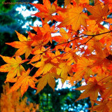 Orange Maple Leaves, Portland Japanese Gardens, copyright ©2013-2014  @annaporterartist. Featured in the Fine Art, Photography and Prints Show in the Gallery at Oregon Society of Artists, 2185 SW Park Place, Portland, OR 97205 during the month of October, 2013. Website: http://annaporterartist.com. View/buy all of my Portland and autumn prints at http://annaporter.instaprints.com and http://annaporter.fineartamerica.com. Follow me on Instagram at http://instagram.com/annaporterartist.