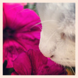 Ronnie in the garden, some days you need to take time to smell the flowers! #cat #petunia #scent #garden
